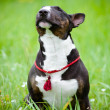 Bull terrier dog sniffing air — Stock Photo #17379499