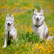 Two siberihuskies outdoors — Stock Photo #17379561