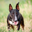 English bull terrier dog portrait — Stock Photo