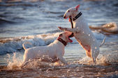 Bull terrier dogs jumping in the water — Stock Photo