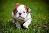 English bulldog puppy walking — Stock Photo