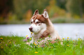 Brown siberian husky portrait outdoors — Stock Photo