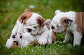English bulldog puppies playing together — Stock Photo