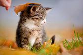 Tabby kitten outdoors under an autumn leaf — Stock Photo