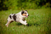 Australian shepherd dog puppy — Stock Photo