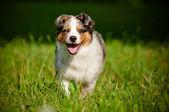 Australian shepherd dog puppy — Stock Photo