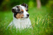 Australian shepherd dog puppy portrait — Stock Photo