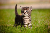 Tabby kitten outdoors — Stock Photo