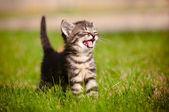 Tabby kitten buitenshuis mauwt — Stockfoto