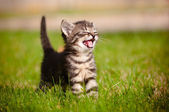 Tabby kitten outdoors meowing — Стоковое фото
