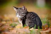 虎斑小猫户外肖像 — 图库照片