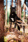 Cane corso dog portrait outdoors — Stock Photo
