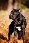 Cane corso köpek portre açık havada — Stok fotoğraf