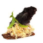 Black fluffy hamster — Stock Photo