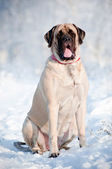 English mastiff dog portrait in the snow — Stok fotoğraf