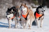 Siberian husky sled dogs race — Stock Photo