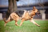 German shepherd dog movements — Stock Photo