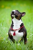 Bull terrier dog sniffing the air — Stock Photo