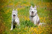 Two siberian huskies outdoors — Stock Photo