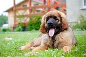 Cute leonberger puppy dog resting — Stock Photo