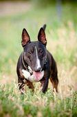 портрет собаки английский бультерьер — Стоковое фото