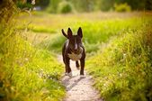 English bull terrier dog with a ball — Foto de Stock