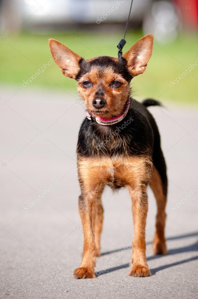 Small mixed breed dog outdoors  Stock Photo #17378513