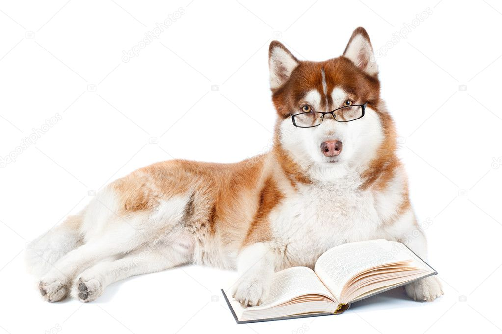 Dog Wearing Reading Glasses Brown Dog Wearing Glasses And