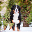 Bernese mountain dog portrait — Stock Photo #17885721