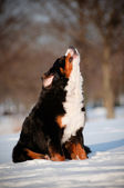 Bernese mountain dog howling and barking — Stock Photo