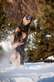 Dog jumping in the snow — Stock Photo