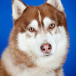 Siberian husky dog portrait on blue — Stock Photo #18227981