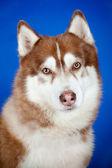 Siberian husky dog portrait on blue — Stock Photo