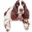 Brown springer spaniel dog banner — Stock Photo