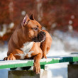 Staffordshire terrier dog portrait — Stock Photo #19134921