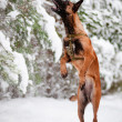 Malinois belgian shepherd jumping — Stock Photo