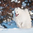 Samoyed dog walking — Stock Photo