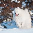 perro Samoyedo caminando — Foto de Stock