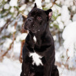 Stock Photo: Cane corso italidog
