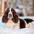 Stock Photo: Springer spaniel dog