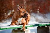 стаффордширский терьер собака портрет — Стоковое фото