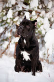 Cane corso italian dog — Stock Photo