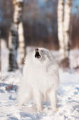 Samoyed dog howls in the woods — Stock Photo
