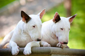 Two english bull terrier dogs — Stock Photo