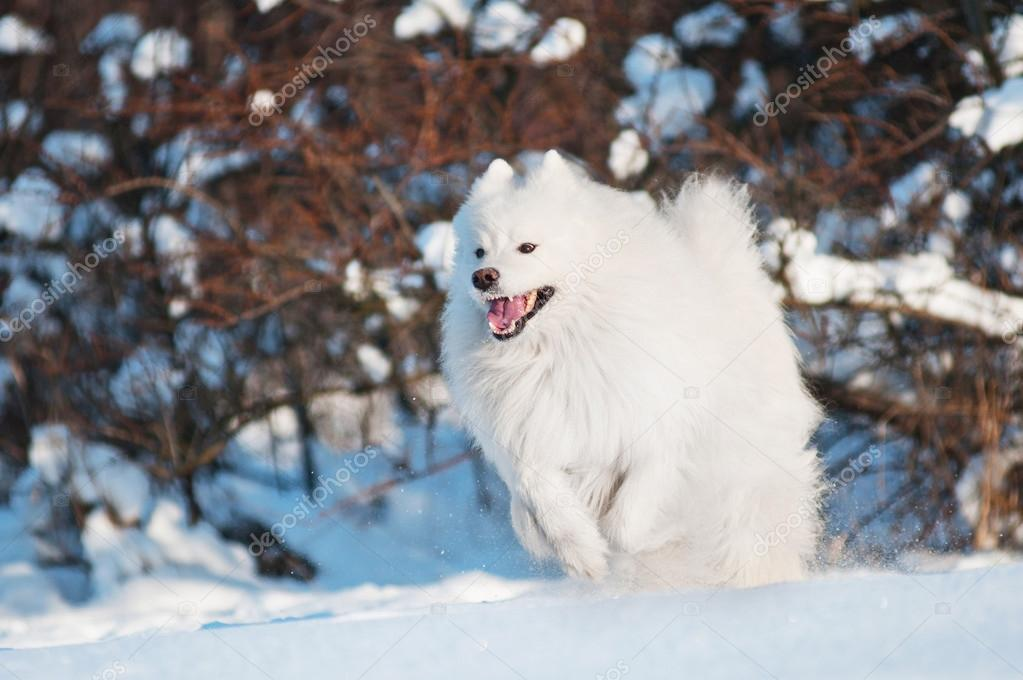 Samoyed dog walking  in the snow  Stock Photo #19135007