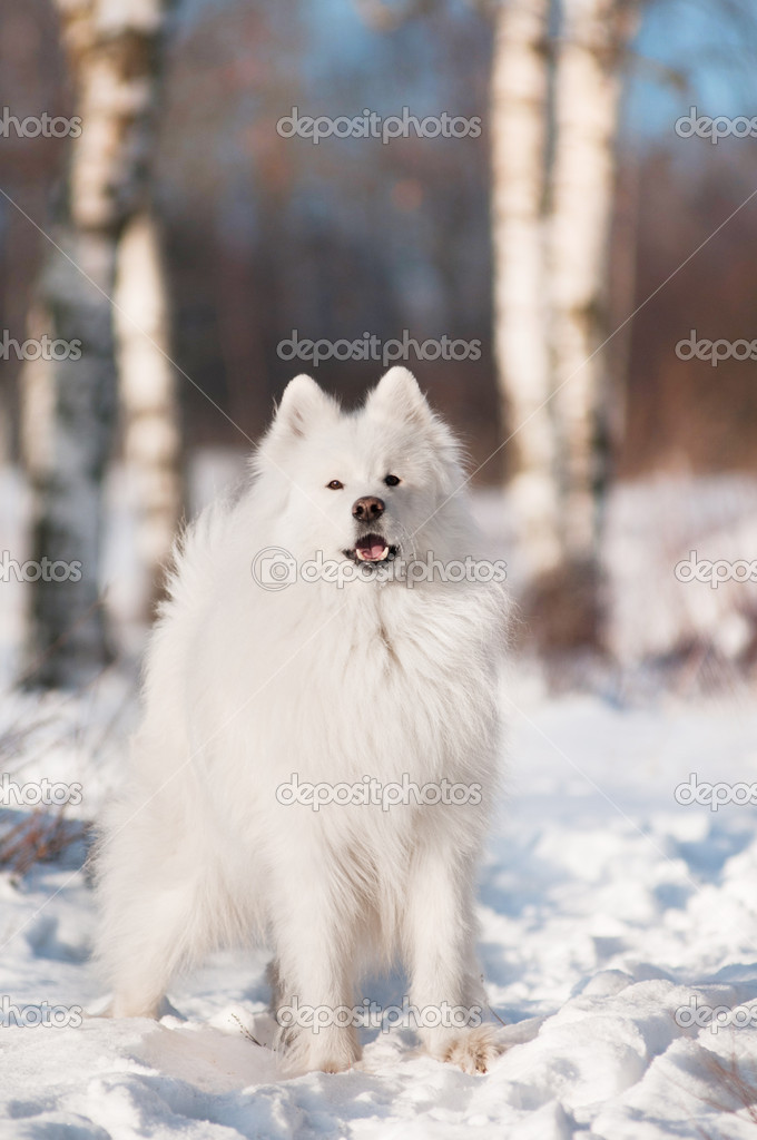 Samoyed dog walking  in the snow — Stock Photo #19135059