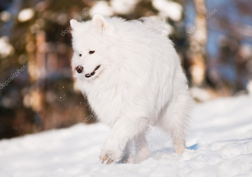 Samoyed dog walking  in the snow — Stock Photo #19135085