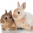 Two decorative dwarfish rabbits — Stock Photo