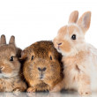 Two decorative  rabbits with guinea pig — Stock Photo