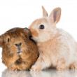 Decorative  rabbit with guinea pig — Stock Photo
